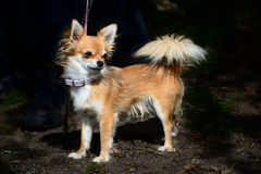 Long-haired tan chihuahua standing Stock Images