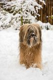 Long-haired tibetan terrier in the snow. Long-haired tibetan terrier standing in the snow Stock Image