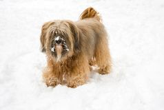 Long-haired tibetan terrier in the snow. Long-haired tibetan terrier standing in the snow Royalty Free Stock Images