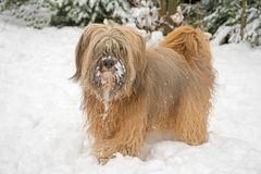 Long-haired tibetan terrier in the snow. Long-haired tibetan terrier standing in the snow Stock Images