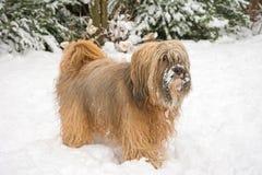 Long-haired tibetan terrier in the snow. Long-haired tibetan terrier standing in the snow Stock Photos