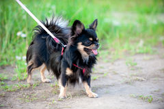 Long-haired tricolor Chihuahua dog Stock Photos