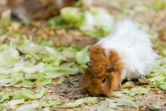 Long haired white and brown guinea pig Stock Photo