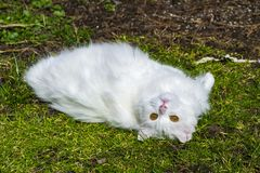 A white fluffy cat relaxing in the grass. A long haired white cat with fluffy fur lying down in the grass, eyes looking up, playful, relaxing look royalty free stock photography