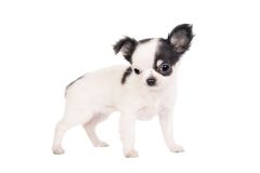 Long-haired white chihuahua dog. On a white background Stock Photo