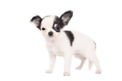 Long-haired white chihuahua dog. On a white background Stock Images