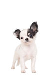 Long-haired white chihuahua dog Stock Image