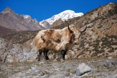 Long-haired yak Royalty Free Stock Photo