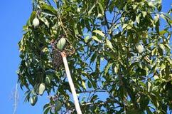 Long-handled fruit picker taking mango Stock Photography
