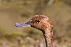 Long head of brown duck Royalty Free Stock Photos