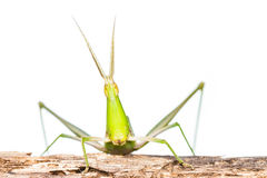 Long head Grasshopper Royalty Free Stock Photo