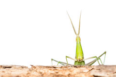 Long head Grasshopper Royalty Free Stock Photography