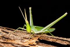Long head Grasshopper Royalty Free Stock Photos
