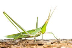 Long head Grasshopper Royalty Free Stock Images