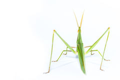 Long head Grasshopper isolated Royalty Free Stock Image