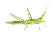 Long head Grasshopper isolated Royalty Free Stock Photos