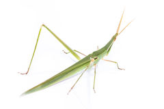 Long head Grasshopper isolated Royalty Free Stock Photography