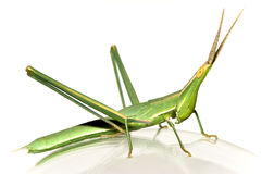 Long-headed grasshopper Royalty Free Stock Photos
