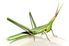 Long-headed grasshopper Royalty Free Stock Photos