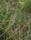 Long-headed Grasshopper Stock Photos