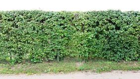 A long hedge of cut decorative hawthorn bush. Isolated on top stock photography