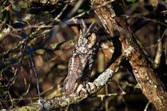 long hibou à oreilles Photographie stock libre de droits