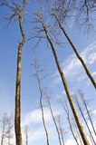 Long high tree trunks on winter sky  in forest Stock Images