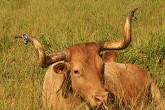Long horn. Bovine with long horn on grass Stock Photo