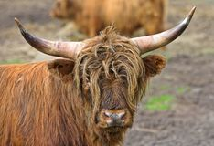 Long horn Royalty Free Stock Images