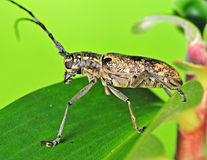 Long horn beetle Royalty Free Stock Images
