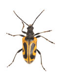 Long horn beetle (Brachyta interrogationis) Royalty Free Stock Images