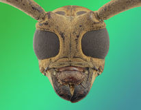 Long horn beetle face Royalty Free Stock Photos