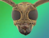 Long horn beetle face royalty free stock photos