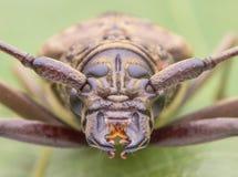 Long horn beetle face images. Macro closeup of Long horn beetle face images Royalty Free Stock Image