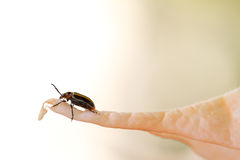Long horn beetle Royalty Free Stock Photography