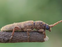 Long horn beetle stock images