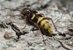 Long horn beetle, Plagionotus detritus laying eggs in the cracks of oak bark. Plagionotus detritus is a beetle of the Cerambycidae family, long horn beetles. It Stock Photo