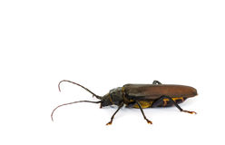 Long horn beetles. Stock Photography