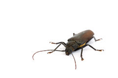 Long horn beetles. Royalty Free Stock Images