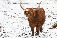Long horn bull in winter Royalty Free Stock Images