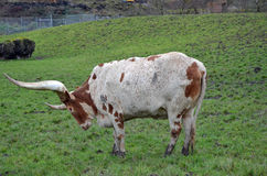 Long horn Cattle Royalty Free Stock Photos