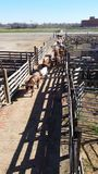 Long horn cattle rounded into pens. Longhorn cattle rounded into pens, Ft Worth, Texas, Stockyards royalty free stock image
