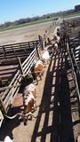 Long horn cattle rounded into pens royalty free stock photo