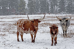 LONG HORN CATTLE IN THE SNOW Stock Photography
