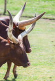 Long horn Stock Image