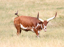 Long Horn Cow Stock Images