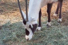 Long Horn Gazelle. Stock Images