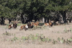 Long Horn Goats. This pic was taken in Kerrville Texas New Years Day 2016 Stock Photography