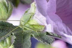 Long horn grasshopper Royalty Free Stock Photography