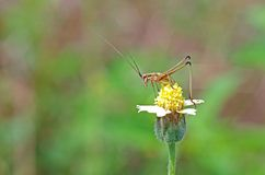 Long-horn grasshopper on flower Stock Photography